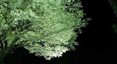 月光桜ライトアップ2021